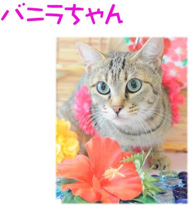 猫 バニラちゃん