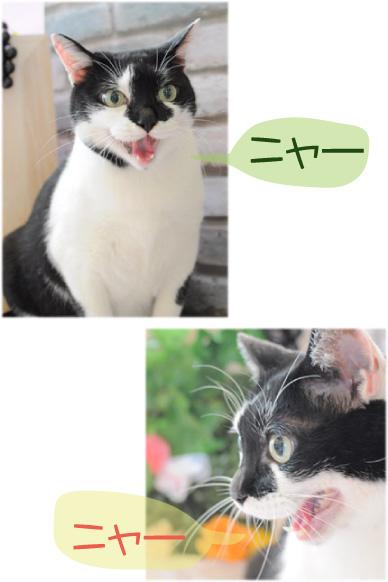 猫 エース