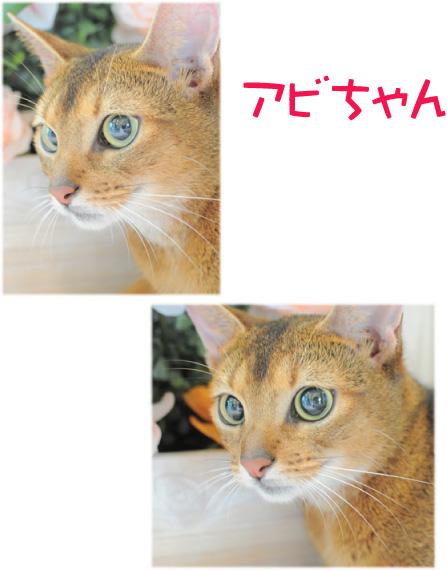 猫 アビちゃん