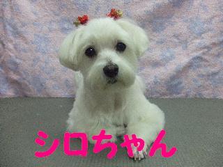 2008_0105シロちゃん