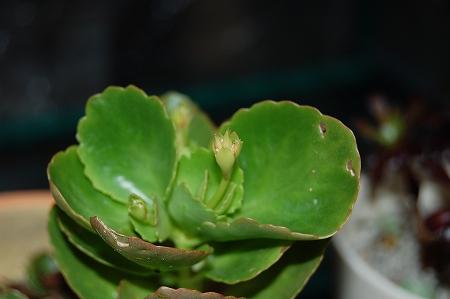 カランコエの花芽