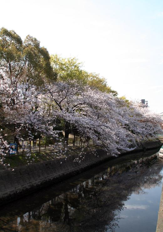 2011寝屋川の桜01