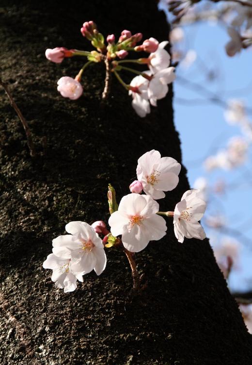 2011寝屋川の桜02