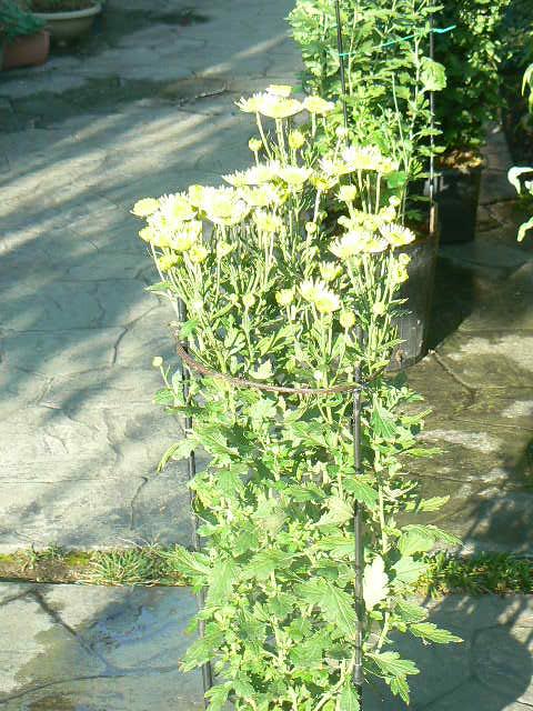 薄緑の立花の菊