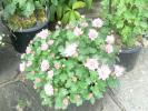 薄ピンク色の小玉菊