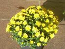黄色い小玉菊