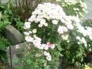 白色の立花の菊
