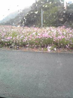 雨の中のコスモス