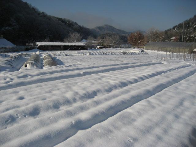 雪をかぶった畑