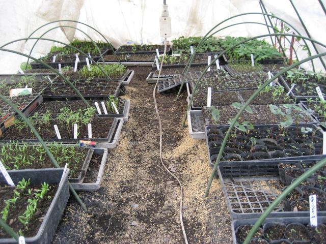 ハウスの中の野菜の苗