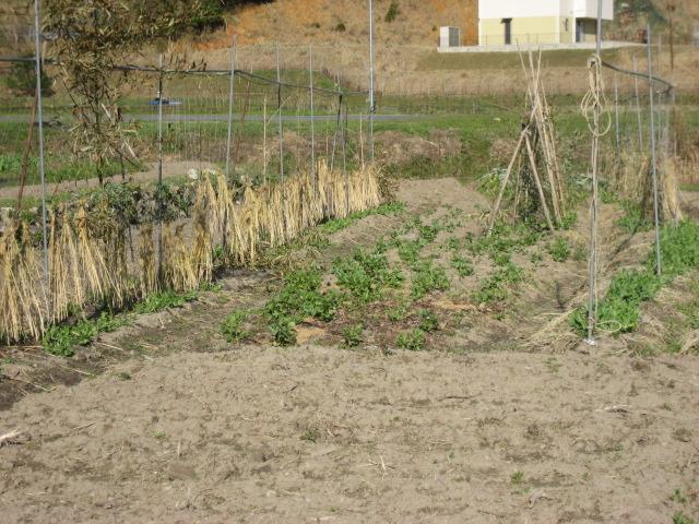 豆のたち木