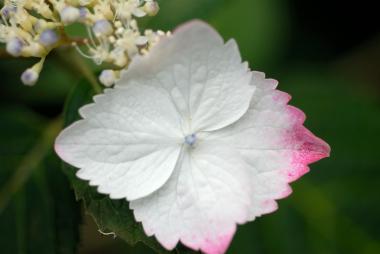 紅萼紫陽花