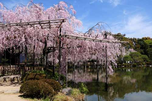 sakura-heianjingu1104177001.jpg