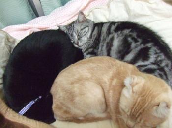 コタツは猫のもの