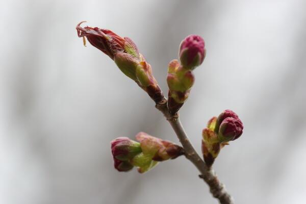 蝦夷山桜(八重)