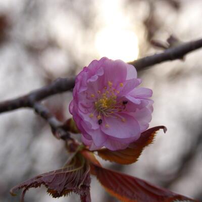 オホーツク八重桜