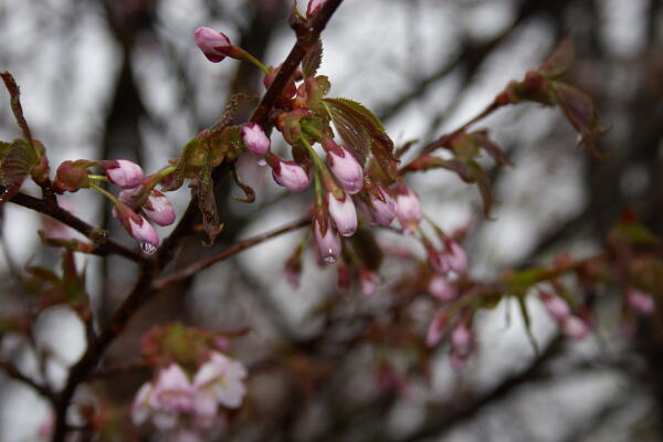 雨に濡れた桜 2