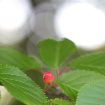 蝦夷山桜の実