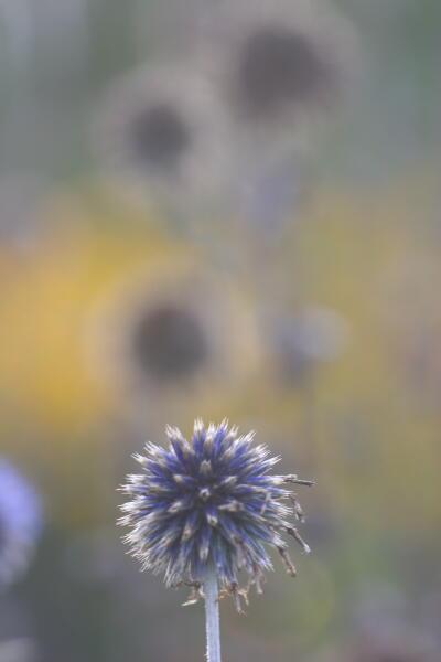 瑠璃玉アザミ