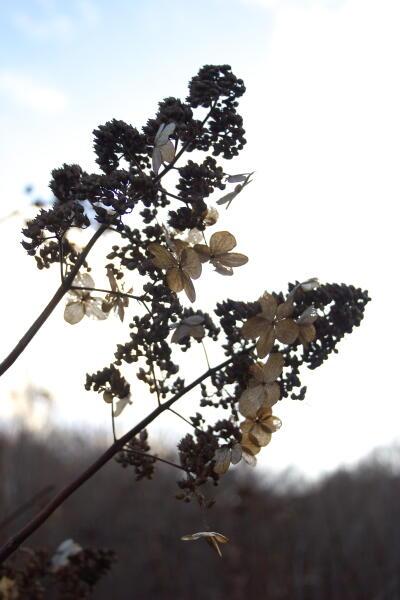 サビタの花