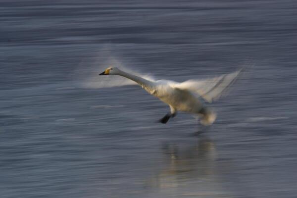白鳥のスケーティング