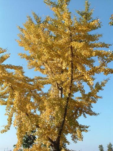 我が家のイチョウの樹。