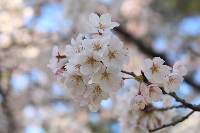 20110429 桜2_R