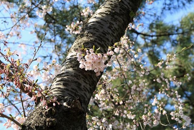 20110429 桜1_R