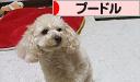 にほんブログ村 犬ブログ プードルへ