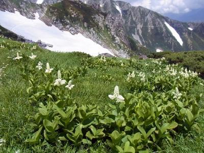 コバイケイソウの花畑