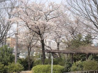 我が家前公園の桜