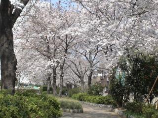 遊歩道入り口の桜