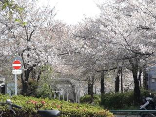遊歩道出口の桜