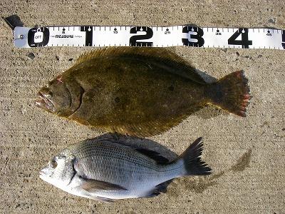 ヒラメ(41センチ)とチヌ(35センチ)
