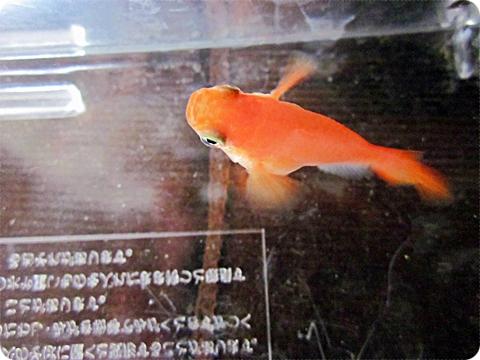 金魚みたいなオレンジダルマ その二上から