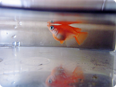 金魚みたいなオレンジダルマ 四月三日