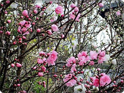 桃の花 アップ 三