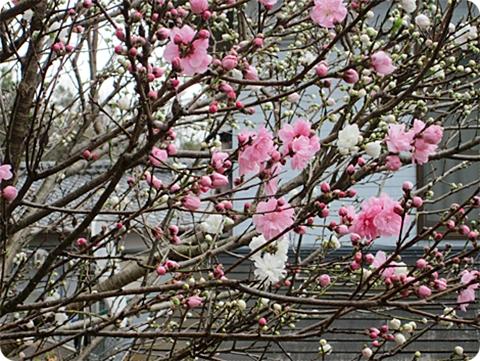 四月三日 桃の花 アップ