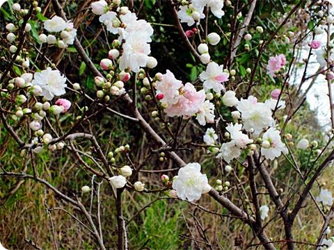 四月三日 桃の花(白ピンク)二