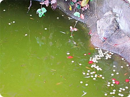 鯉の餌に群がるメダカ達