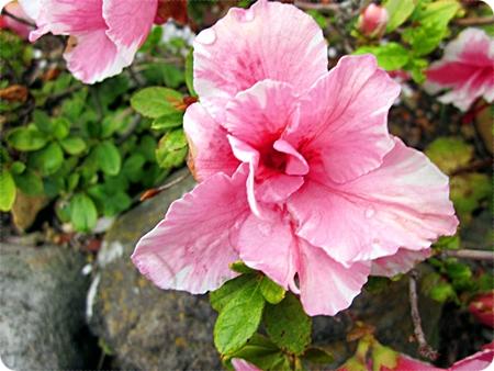 雨上がりのアザレアの花 アップ