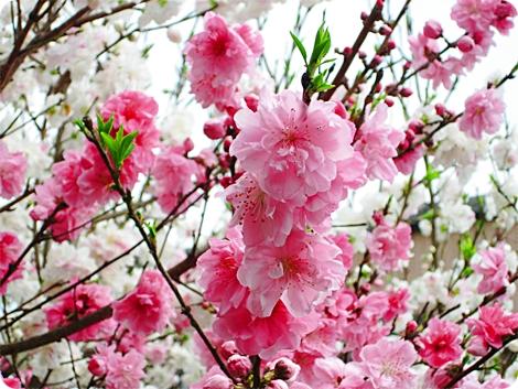 満開の桃 ピンク アップ