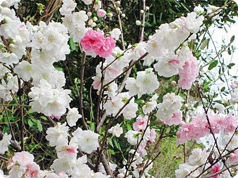 満開の桃 白とピンク混じり