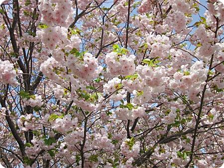 桜 近くから