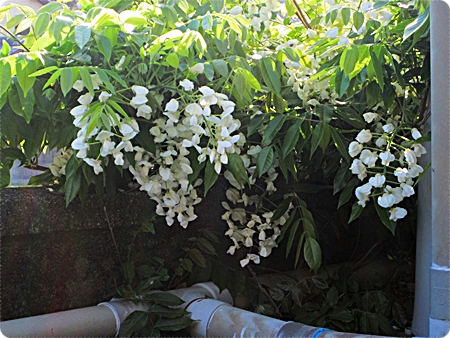 藤の花 池の上