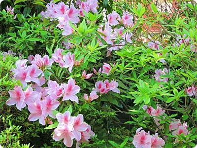 つつじ ピンク たくさん 四月二十六