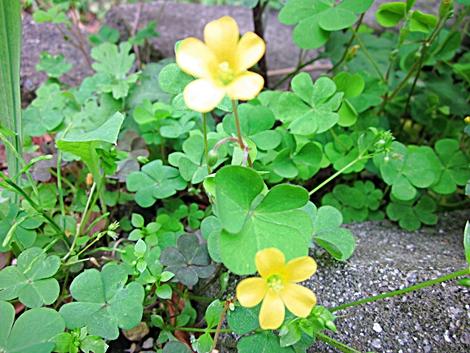 名前のわからない野の花 黄色