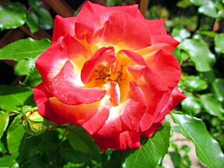 バラの花 一輪 五・二
