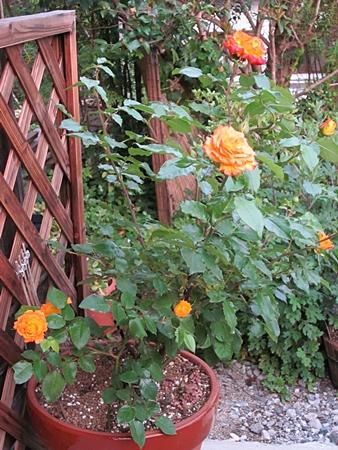 バラの花 全体 五七