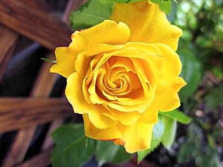黄色のバラの花 一輪 五七